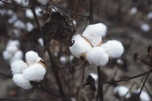 AQF_Chinese-cotton-policy